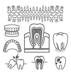 Human tooth anatomy vector image