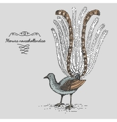 Lyrebird engraved hand drawn vector