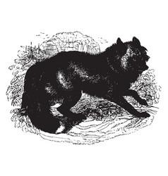 American cross fox vintage vector