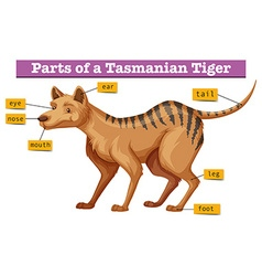 Diagram showing parts of tasmanian tiger vector image
