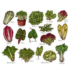 Salads and farm lettuce vegetables sketch vector