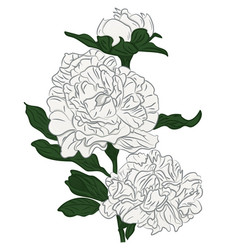 beautiful cartoon white peonies flower isolated vector image