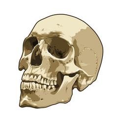 anatomy realistic skull art vector image