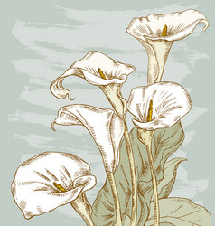 bouquet of the calla lilies vector image