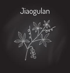 jiaogulan gynostemma pentaphyllum medicinal vector image