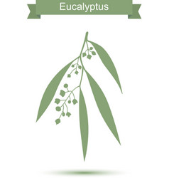 Eucalyptus Isolated on white background vector image