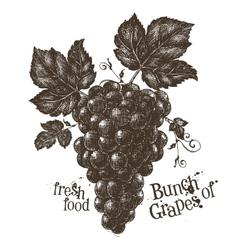 vine logo design template grapevine or vector image
