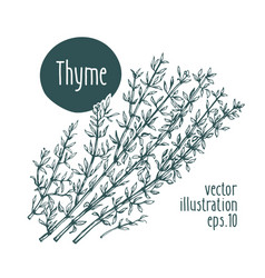 thyme branch for design menu vector image