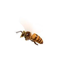 bee fly on white background vector image