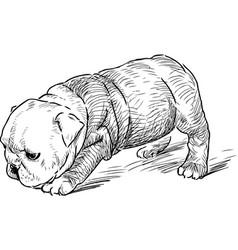 Sketch a puppy an english bulldog vector