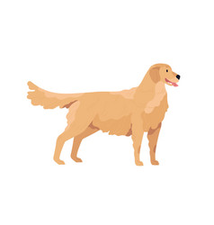 Golden retriever standing with tongue hanging out vector