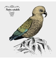 Kea bird engraved hand drawn vector