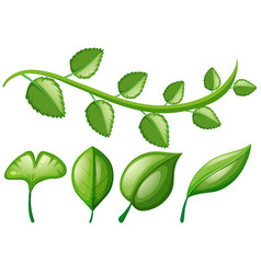 Vine and different shapes of leaves vector