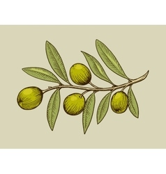 Olive branch engraving style vector image