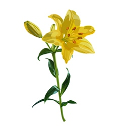 Yellow lily flower vector