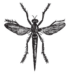 Robber fly vintage vector