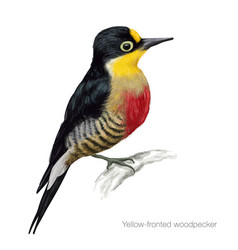yellow fronted woodpecker vector image vector image