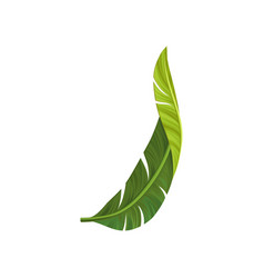Green curved leaf of banana palm tree with vector