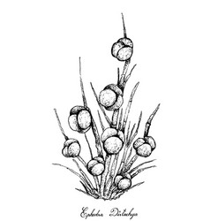 Hand drawn of ephedra distachya fruits on white ba vector