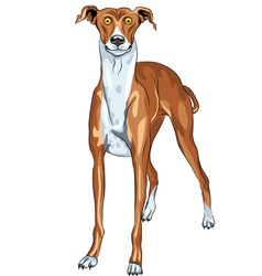 surprised dog breed greyhound vector image