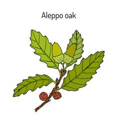 Aleppo oak quercus infectoria medicinal plant vector