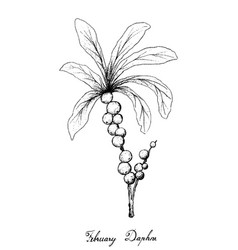 Hand drawn of february daphne fruits on white back vector