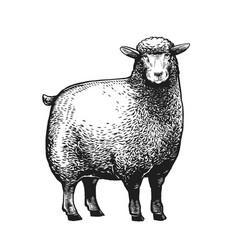 cartoon stylized sheep vector image