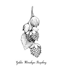 Hand drawn of golden himalayan raspberries on whit vector