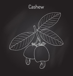 Cashew anacardium occidentale nuts vector