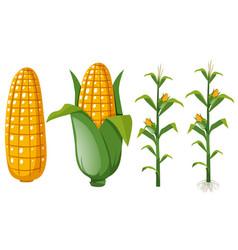 Fresh corns on the tree vector