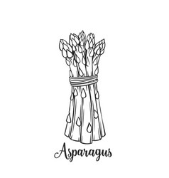 hand drawn asparagus icon vector image vector image
