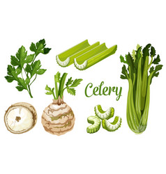 Organic farm bio celery leaf stem and tuber root vector