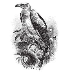 Palm nut vulture vintage vector