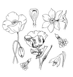 flowers in black ink poppy narcissus crocus vector image