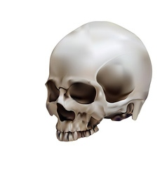 Human skull in white background vector image vector image