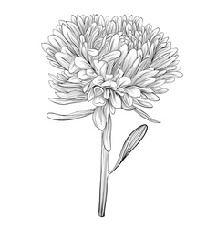 Black and white aster flower isolated vector