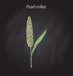 Pearl millet pennisetum glaucum cereal crop vector