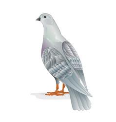 White pigeon breeding bird vector
