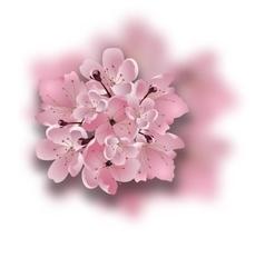 Japanese cherry Sakura Bouquet of pink flowers vector image vector image