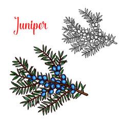 Juniper sketch exotic plant fruit icon vector