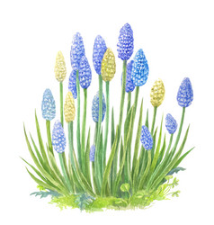 Muscari with watercolor of blue vector