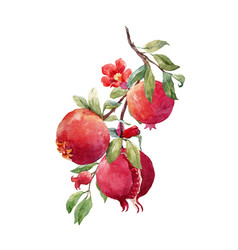 Pomegranate fruit branch vector