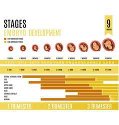 Embryo development month and trimester stages vector