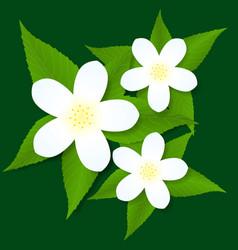 Jasmine white flower vector