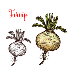 Turnip vegetable tuber sketch vector