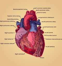 anatomical heart vector image