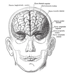 Brain in relation to skull and face vintage vector
