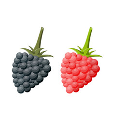 blackberry and raspberry isolated white vector image