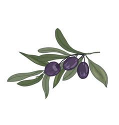 elegant botanical drawing of olive or olea vector image