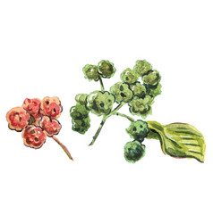 sichuan pepper raster vector image